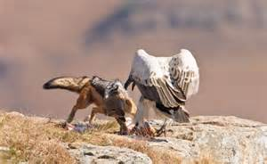 jackal takes   vulture  wins incredible moment