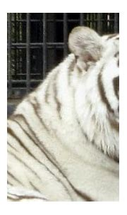 Zookeeper attacked by 170kg white tiger in Japan zoo