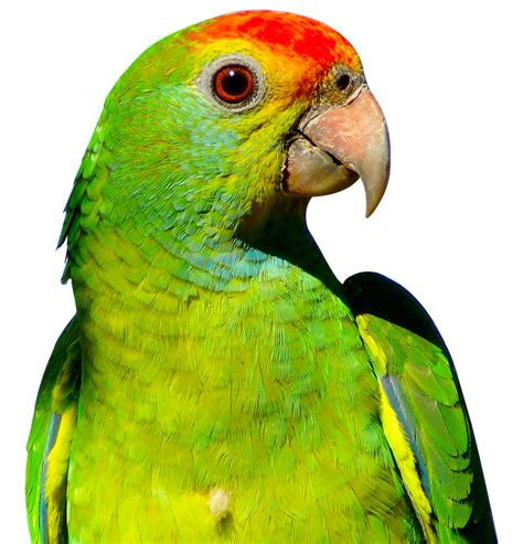 Images Transparent Background by Parrot Png Transparent Images And Clipart Pics