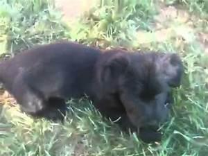 Skye terrier puppies - playtime - YouTube