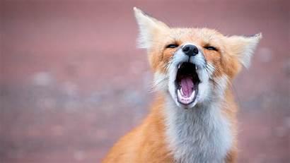 Fox Wallpapers Desktop Yawning Animal Animals Foxes