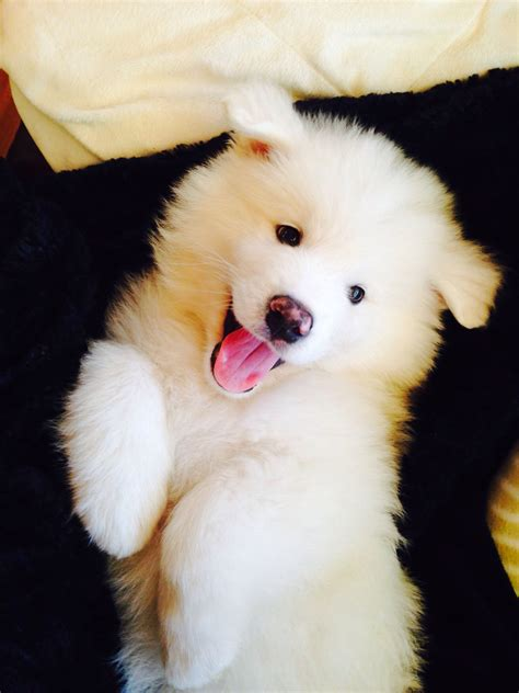 Samoyed Puppy Cutest Thing Alive Adorable Fur Babies