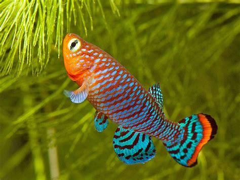 nothobranchius rachovii  tropical fish aquarium