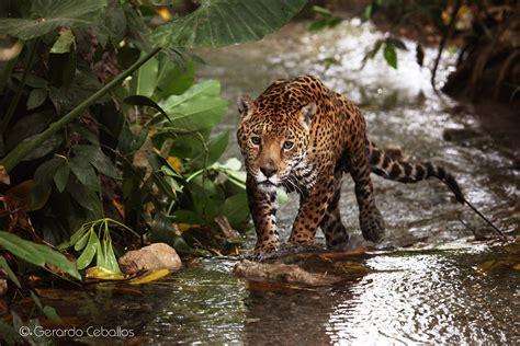 El Jaguar, En Mayor Peligro De Extinción De Lo Que Se