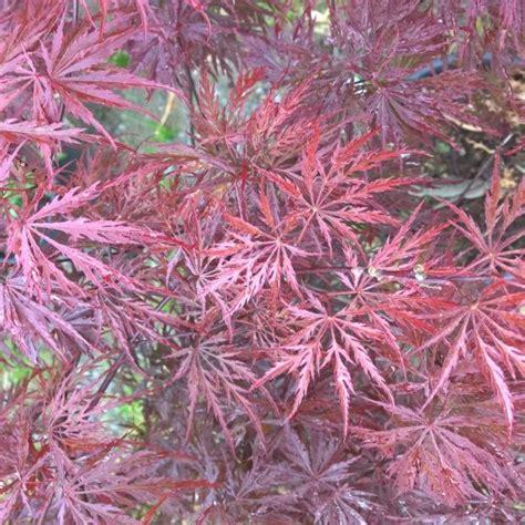 erable du japon en pot interieur erable du japon crimson plantes et jardins