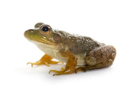 American Bullfrog Stock Image. Image Of Green, Wildilfe