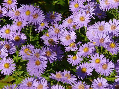 gambar menanam ungu daun bunga berkembang bunga
