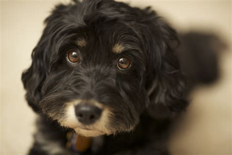 outrageously adorable poodle mixes