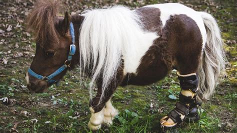 dwarf horse adorable