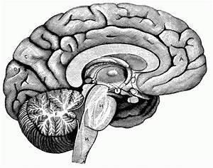 Brain Interior Diagram