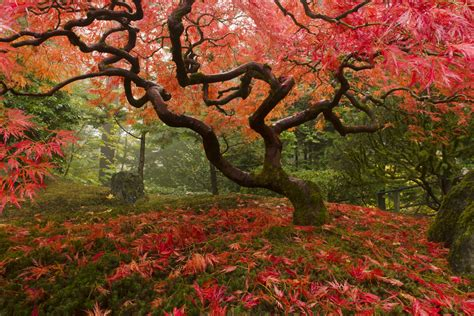 japanese maple tree photos japanese maples so many awesome colorful varieties to