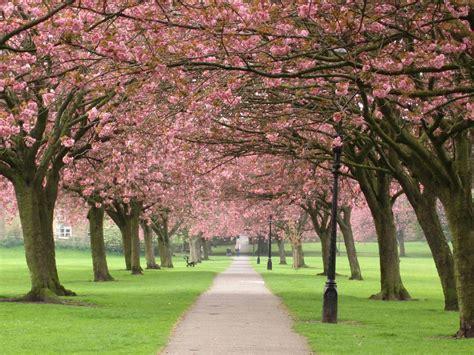 cherry blossom tree l wallpapers cherry tree