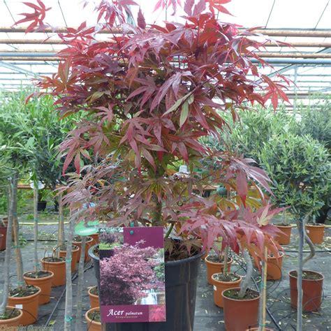 Buy Acer Plants Online Japanese Maple Atropurpurem