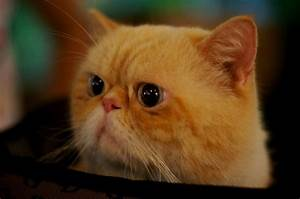 cute exotic persian ginger cat | Persian cats | Pinterest