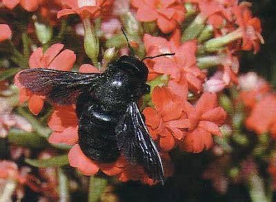 insetto nero volante deladelmur il mangialegno