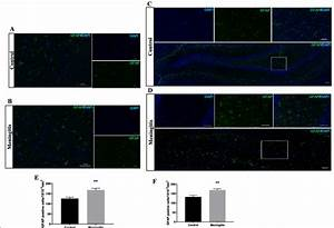 Increased Astroglial Activation 24 H After Experimental