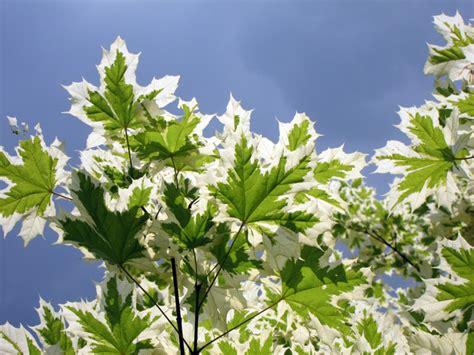 varigated maple tree variegated norway maple tree