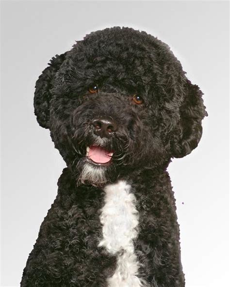 portugese water dog dog breed information noahs dogs