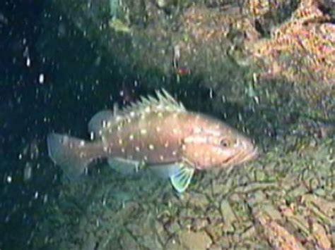 snowy grouper habitat deep water predators reef spawning feeding communities important such form noaa lophelia ii 2008 courtesy