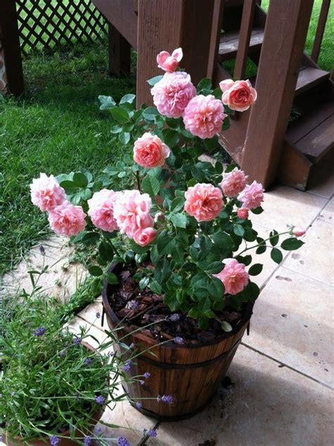 feeding roses boscobel feeding roses