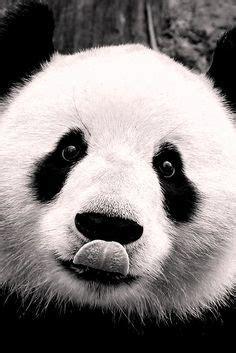 las 120 mejores im 225 genes de ositos panda en 2018 de panda pandas dibujo y dibujos