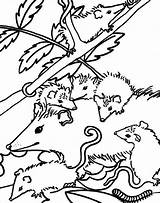Possum Coloring Drawing Hanging Template Designlooter 763px 75kb sketch template
