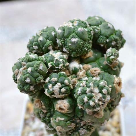 #astrophytum #kikko lizard skin montrose #แอสโตร ...