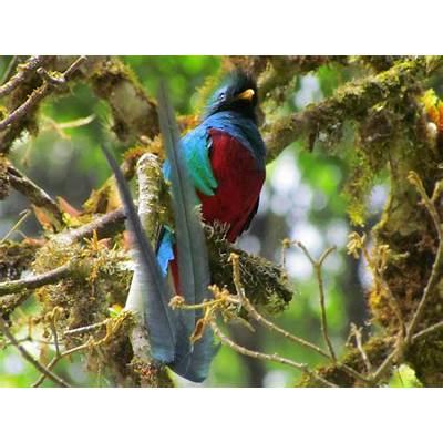 Resplendent Quetzals - Where and When In Costa Rica
