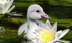 The Ugly Duckling No More, The Swans are Here | Qlty Ctrl ...