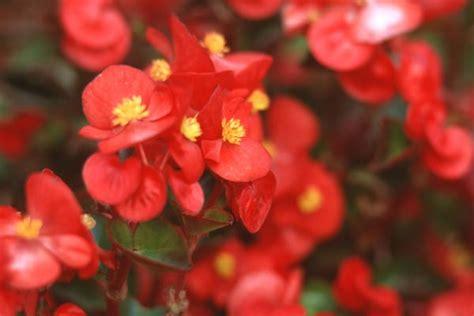 Begonie: Diese Pflanzen Sind Im Allgemein Recht
