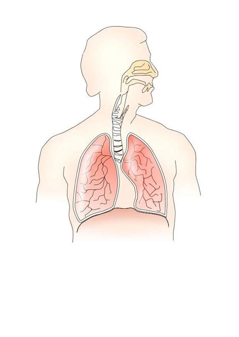 image respiratory system  printable images