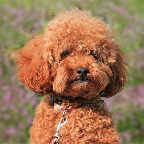 small brown dogs  curly hair puppies  pinterest