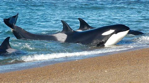 orca pictures kids search
