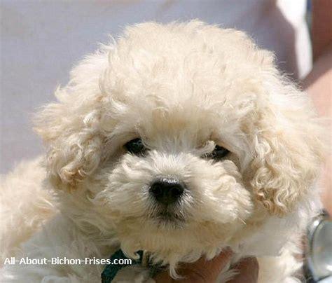 non shedding dog breed bichon frises all about bichon