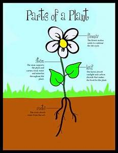 Plant Parts  Life Cycle  U0026 Photosynthesis