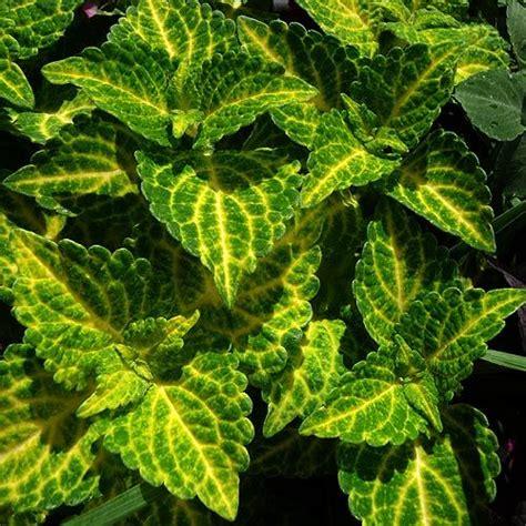green coleus plant coleus solenostemon electric lime solenostemon electric lime