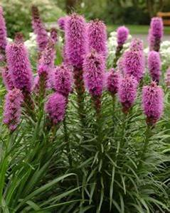Liatris Spicata Kobold : late summer flowering perennials direct from plantstoplant ~ Watch28wear.com Haus und Dekorationen
