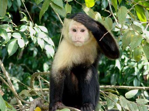 capuchin monkey white faced capuchin