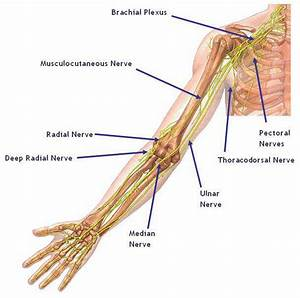 Pin On Upper Extremity Nerves
