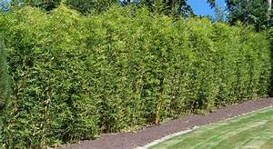 Langsam Wachsende Hecke : bambus pflanzenshop bambus als gr ner sichtschutz ~ Michelbontemps.com Haus und Dekorationen