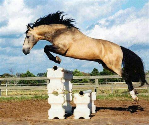 buckskin horses jumping horse lusitano alone magnificent
