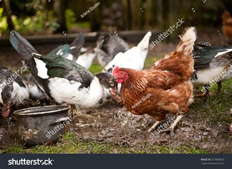 brown hen looking food scratching mud stock photo