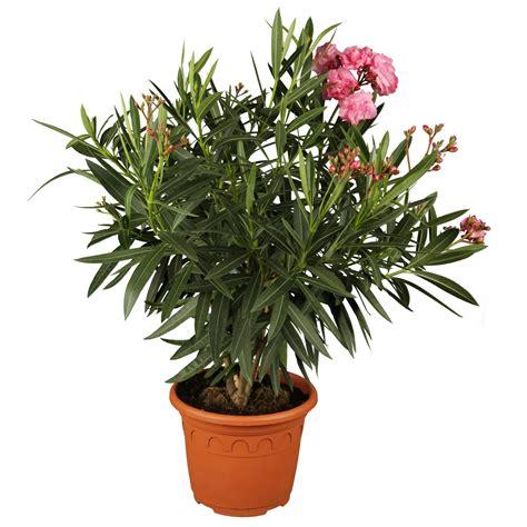 oleander im topf oleander dreifarbig topf 216 ca 19 cm nerium kaufen bei obi
