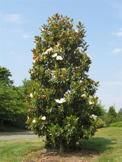magnoloa tree 5 great magnolias for your landscaping tomlinson bomberger
