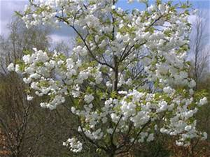 Taille De Cerisier : choisir un cerisier la pollinisation ~ Melissatoandfro.com Idées de Décoration