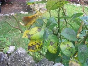 Kamelie Gelbe Blätter : probleme mit rosen welche krankheit und welche ~ Lizthompson.info Haus und Dekorationen