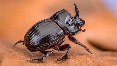 Beetle Rhinoceros Insect Wallpapers