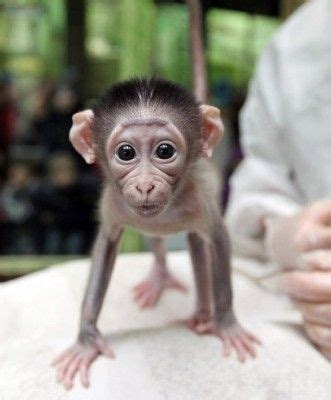 abusing  killing baby monkeys  harry harlow redux