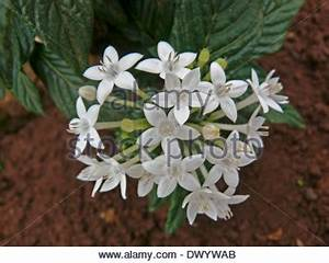 Clusters of delicate pink & white flowers (bracts ...