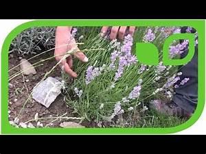 Wann Schneide Ich Hortensien : lavendula schneiden im august doovi ~ Frokenaadalensverden.com Haus und Dekorationen
